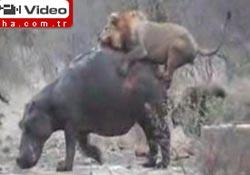Aslan, suaygırını yiyebilir mi?