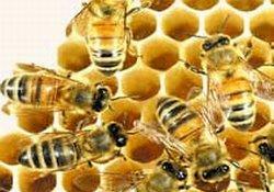 Arılar, matematik çözümü oldu!