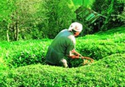 Yeşil vadide hasat zamanı...