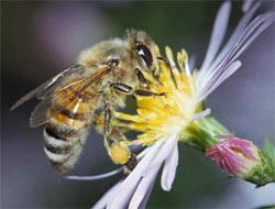 Dikkat! Casus arılar geliyor...