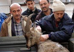 Artvin'de ölü yaban keçisi bulundu