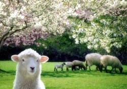 Rize'de koyunlar çiçek oldu!
