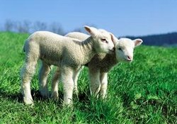 Trabzon'da 45 koyun telef oldu