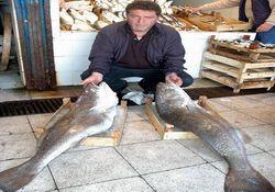 Karadeniz'de kötek balığı bolluğu