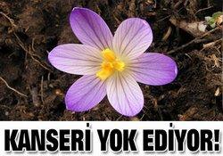 Bu çiçek kanseri yok ediyor