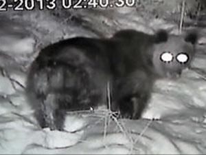 Bal kovanlarına saldıran ayı için elektrikli çit çekti