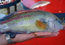 Fanatik Trabzonsporlu balık!