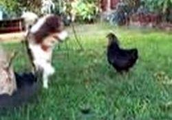 Tavuk kadar cesareti olmayanlara!