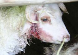 Kurtlar ahırdaki koyunlara saldırdı