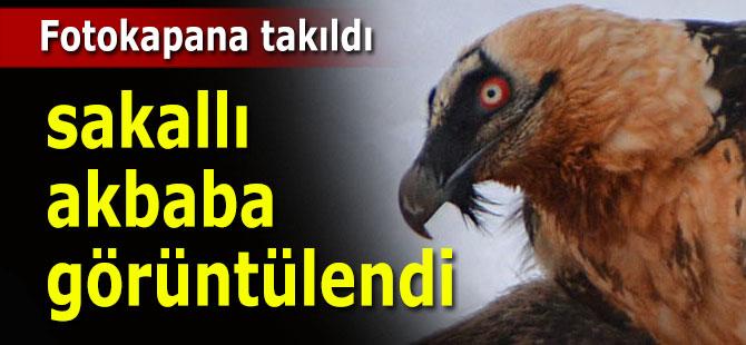Sakallı Akbaba fotokapana yakalandı