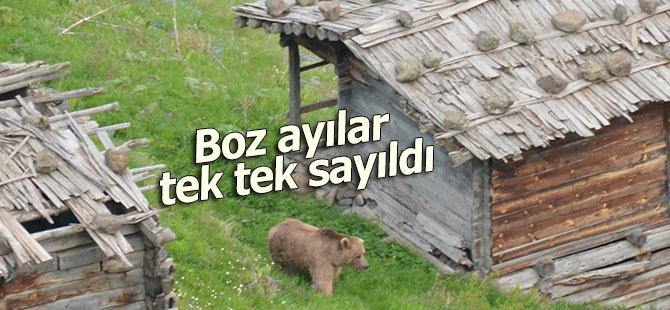 Boz ayılar tek tek sayıldı!