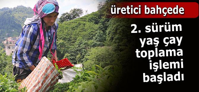 Rize'de 2017 yılı ikinci sürgün yaş çay hasadı başladı