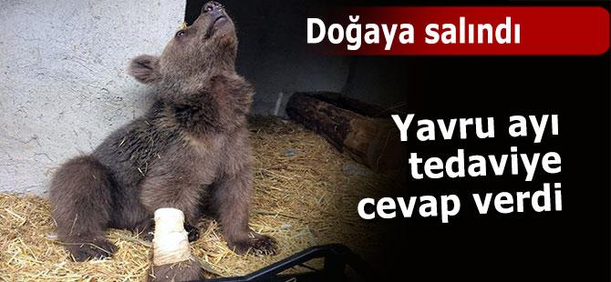 Yavru ayı tedavisinin ardından doğaya salındı