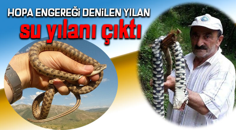 Hopa Engereği denilen yılan su yılanı çıktı
