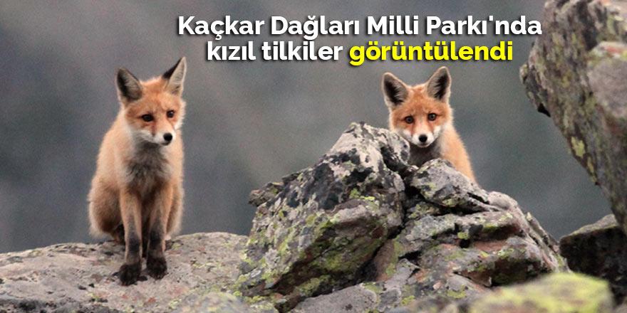 Kaçkar Dağları Milli Parkı'nda kızıl tilkiler görüntülendi