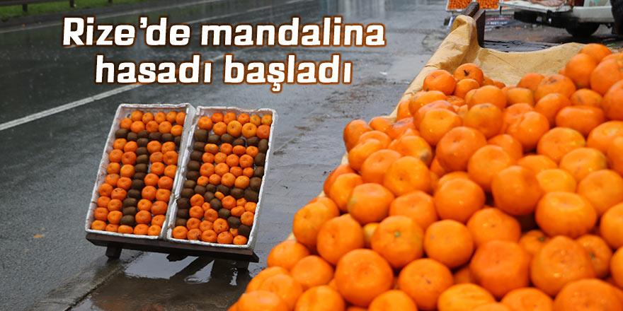 Rize'de mandalina hasadı başladı