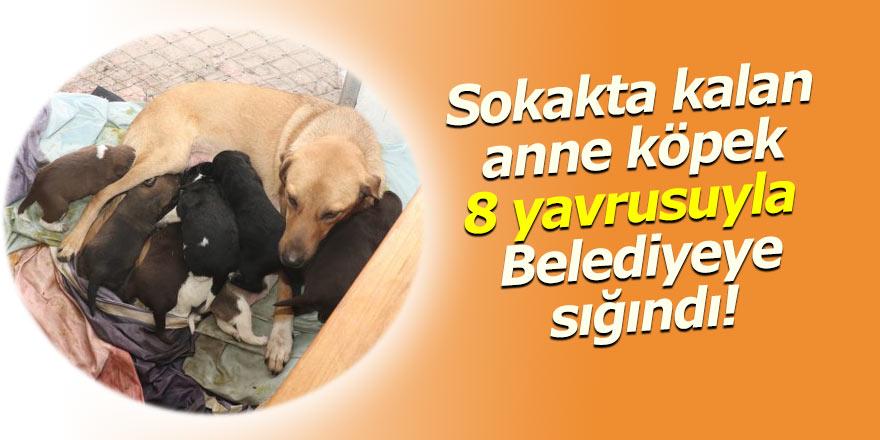 Sokakta kalan anne köpek belediyeye sığındı!