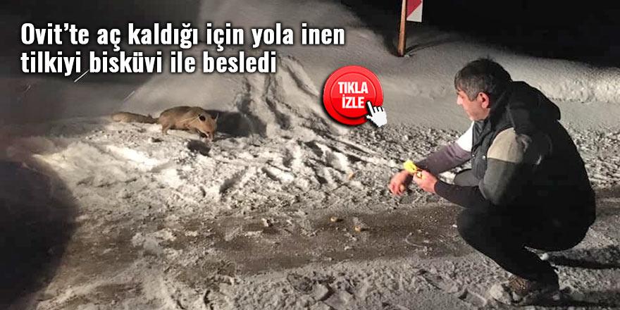 Ovit'te aç kaldığı için yola inen tilkiyi bisküvi ile besledi