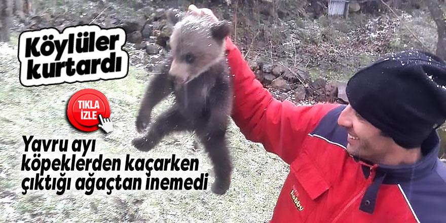 Yavru ayı, köpeklerden kaçarken çıktığı ağaçtan inemedi