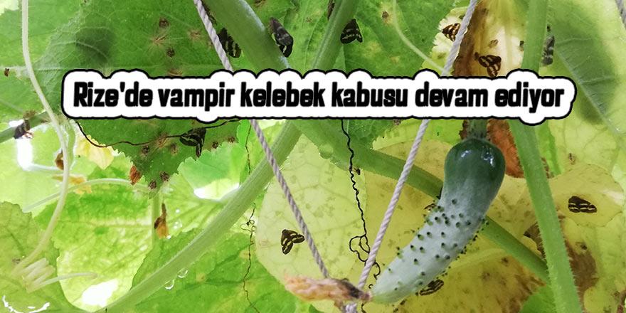 Rize'de vampir kelebek kabusu devam ediyor