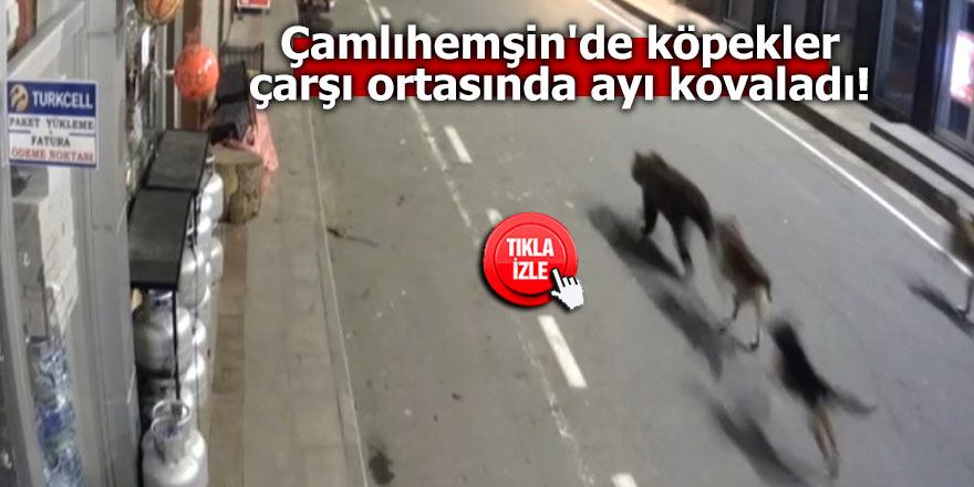 Çamlıhemşin'de köpekler çarşı ortasında ayı kovaladı!