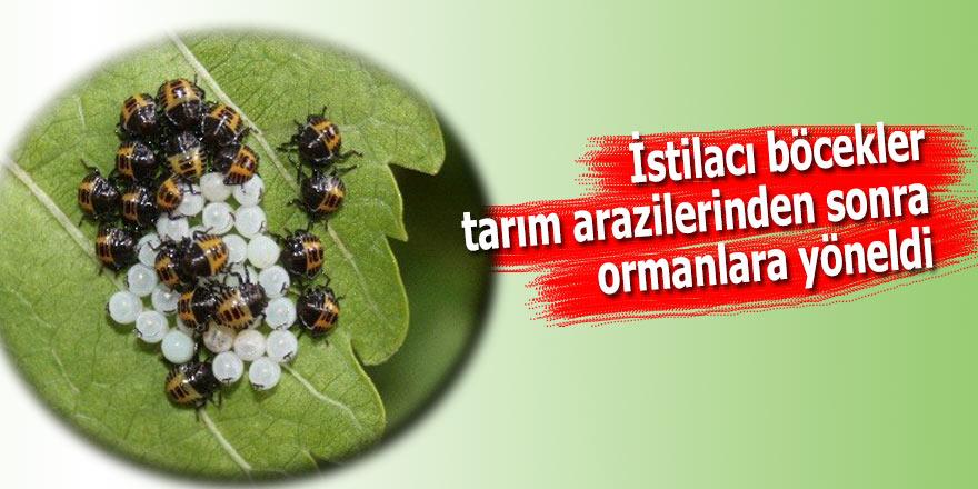 İstilacı böcekler tarım arazilerinden sonra ormanlara yöneldi