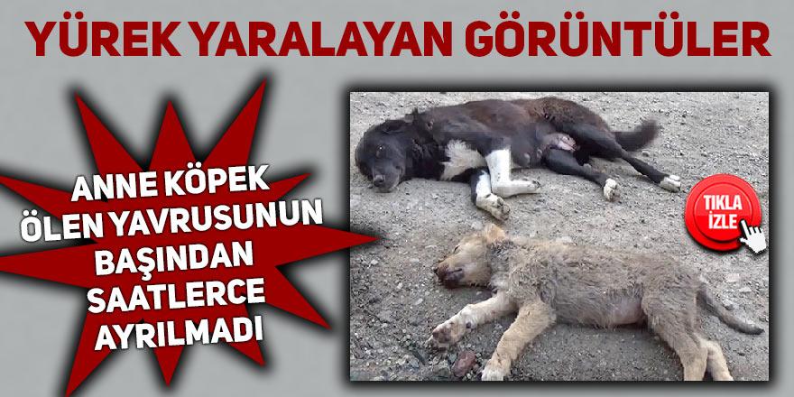Anne köpek ölen yavrusunun başından saatlerce ayrılmadı