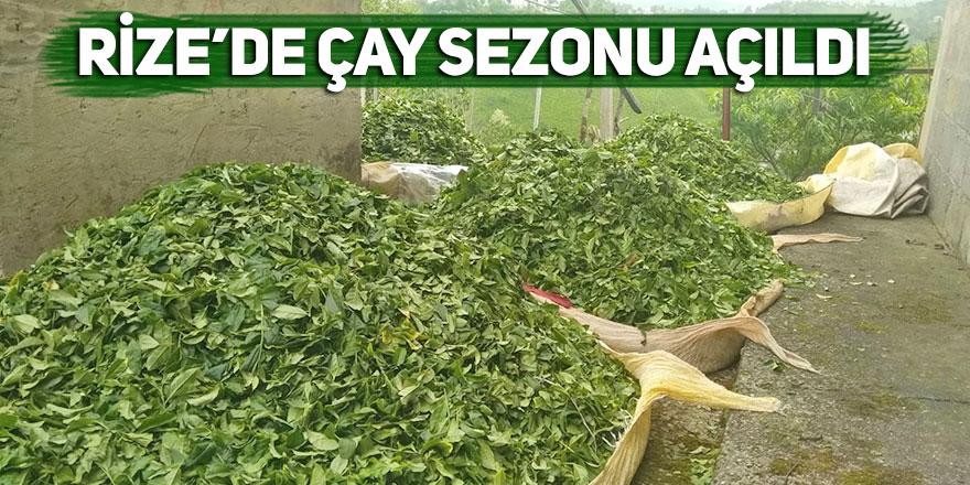 Rize'de çay sezonu açıldı