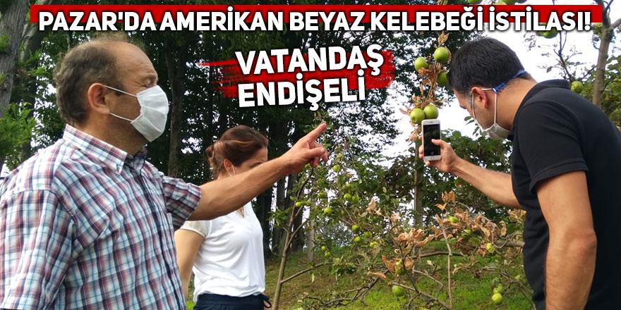 Pazar'da Amerikan beyaz kelebeği istilası!