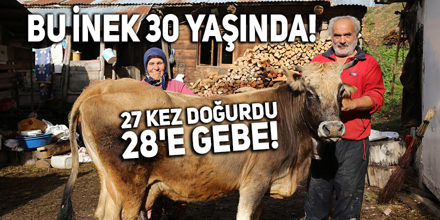 Bu inek 30 yaşında! 27 kez doğurdu, 28'e gebe!