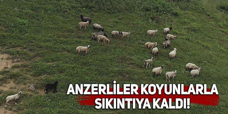 Anzerliler koyunlarla sıkıntıya kaldı!