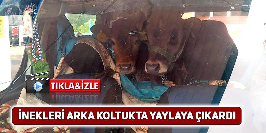 Rizeli, inekleri arka koltukta yaylaya çıkardı!