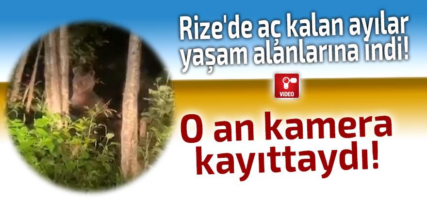 Rize'de ayılar yaşam alanlarına indi!