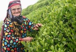 25 günde 130 bin ton çay alındı