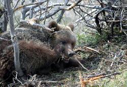 Kapana düşen ayı doğaya salındı