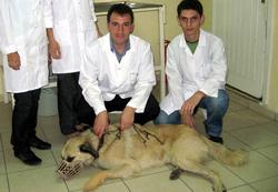 Köpeği ameliyat ederek kurtardılar