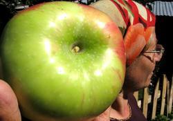 İnsan kafası kadar elma, şaşırttı