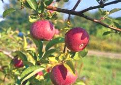 Çayeli'ne 30 bin meyve ağacı!