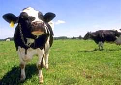 Ahırdan inekleri çaldılar!