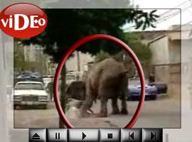 Öfkeli fil terör estirdi.  VİDEO