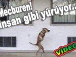İnsan gibi yürüyen köpek...