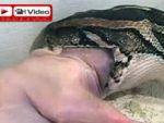 Bu yılan, 100 kiloluk domuz yiyor!