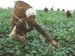 Ülkeden ülkeye çay kültürü