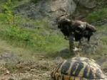 Kartalın müthiş kaplumbağa avı