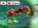 Karıncalar sanki Kabe'de tavafta!