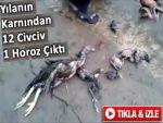 Yılanın Karnından 12 Civciv, 1 Horoz Çıktı