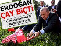 Cumhurbaşkanı Erdoğan Rize'de çay topladı!