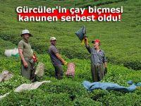 Gürcüler'in çay biçmesi kanunen serbest oldu!