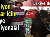 Boğa Güreşleri Türkiye Şampiyonası yapılacak!