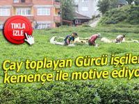 Çay toplayan Gürcü işçileri kemençe ile motive ediyor
